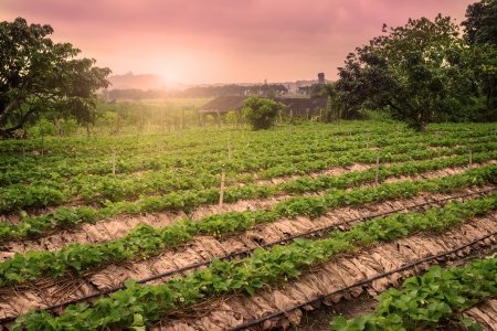 Beautiful landscape and fresh strawberries farm at Chiangmai : Thailand photo