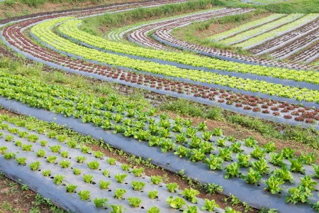 vegetables cultivation Stock Photo - 24567798