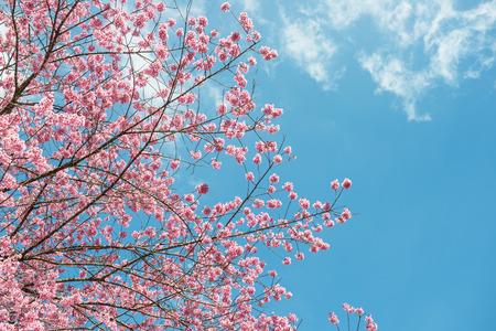 Różowa sakura w Tajlandii Zdjęcie Seryjne
