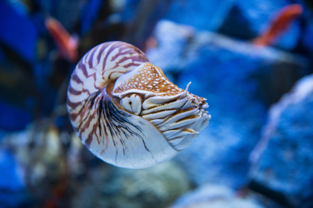 chambered: Nautilus pompilius or chambered nautilus, is a cephalopods with a prominent head and tentacle
