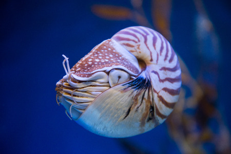 nautilus pompilius: Nautilus pompilius or chambered nautilus, is a cephalopods with a prominent head and tentacle