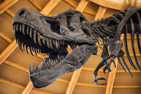 dueling: Close up of Giant Dinosaur  or T-rex skeleton Stock Photo