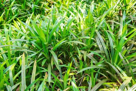 pandan: pandan leaf Stock Photo