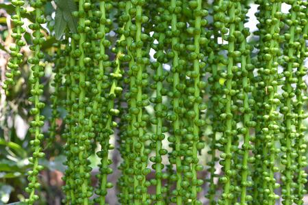 Unripe Sugar Palm Seed on tree photo