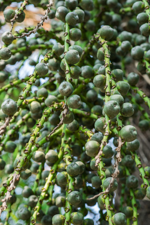 kimri: Unripe Sugar Palm Seed on tree