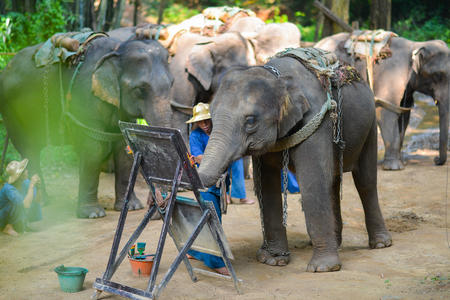 power giant: CHIANG MAI, THAILAND-OCT 2014: Elephant is painting a picture at Elephant Camp. Chiang Mai, Thailand on October 15, 2014.