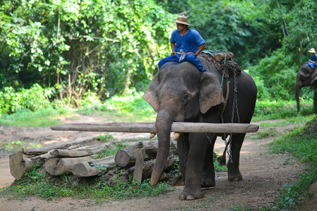 mahout: CHIANG MAI, THAILAND-OCT 2014: Mahout is riding elephant at Elephant Camp. Chiangmai, Thailand .