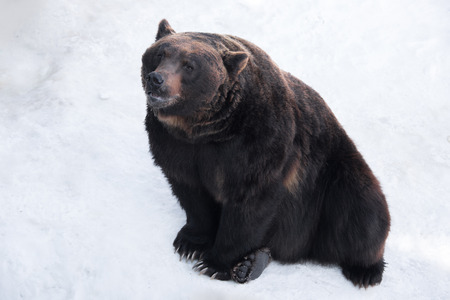 Brown bear (Ursus arctos) sits on the snow Stock Photo