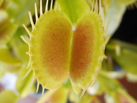 Carnivorous dionee plant (dionaea) close-up on trap.