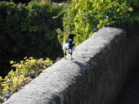 Magpie on a low wall