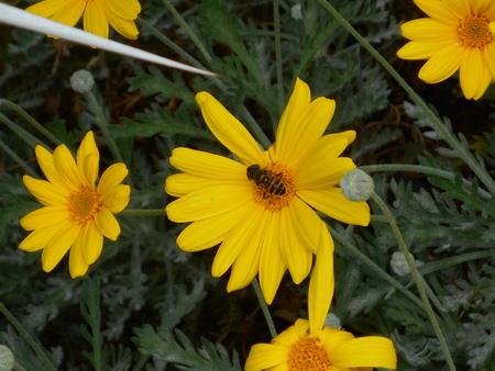 美しい黄色の花にかなりの蜂。 写真素材 - 88849250