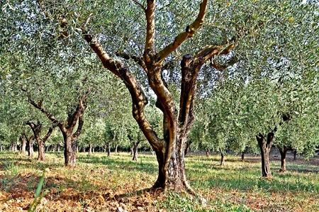plantando arbol: La plantaci�n de �rboles de oliva Foto de archivo