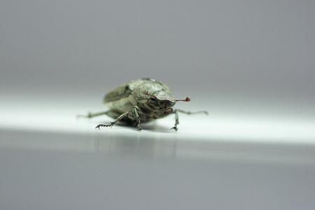 scarabaeidae: Dung Beetle