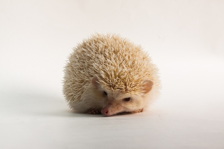 Cute Apricot Hedgehog photo