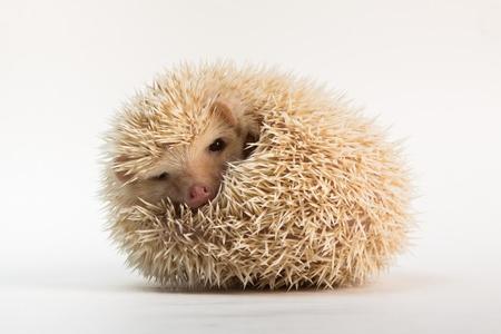 Cute Apricot Hedgehog photo