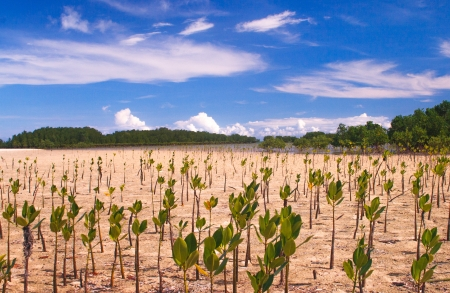 palawan: Mangroves growing on the sands of Palawan