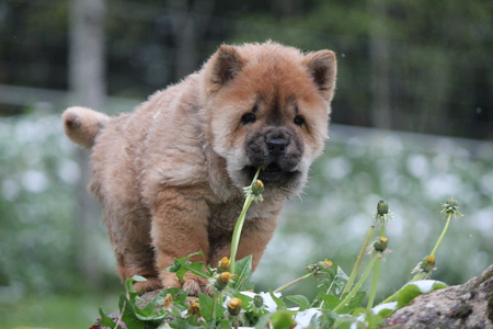 chow: Smooth chow chow