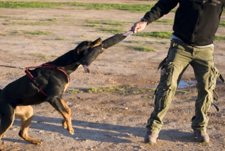 rottweiler dog training for law enforcement and security companies Stock Photo - 8765729