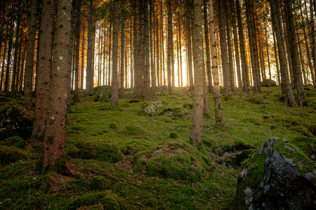 mossy forest with pines and sun in the background