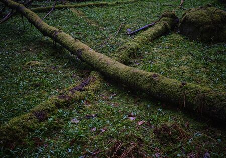 Two mossy trees lie in the forest and form an x