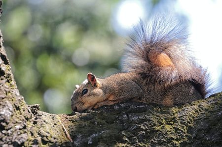 resting: Squirrel Resting in Tree