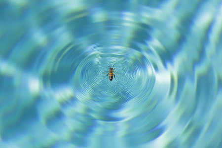 drown: Honey Bee Stuck in Swimming Pool Stock Photo