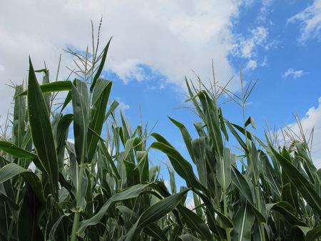 Upward Corn Field of a Blue, Partly Cloudy Sky