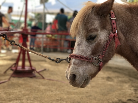 Pony Harnessed to a Pony Ride Wheel at a Festival
