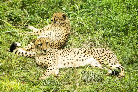 Cheetahs have a rest in the grass