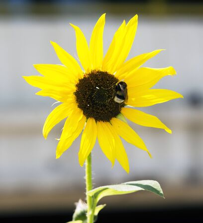 Sunflower on which stands the bumblebee, sunny day