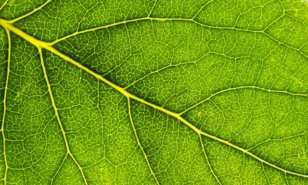 capillary texture of green leaf background close up