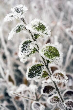 frozen leaves Ligustrum close up winter scene