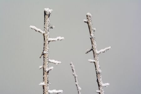 frozen top of plum tree with snow on branches