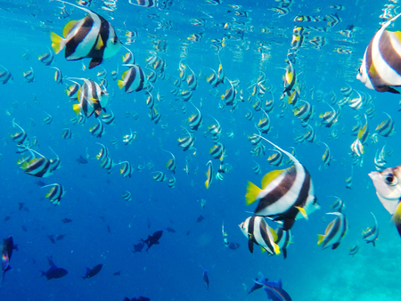 School of Tropical Angel Fish in the blue clear waters of the Indian Ocean