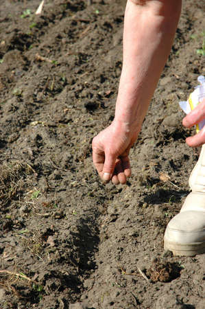 The farmer is sowing seeds to furrows photo