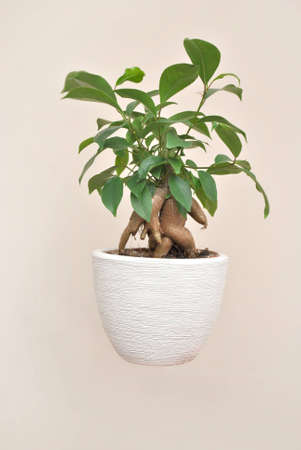 A bonsai plant on white background photo
