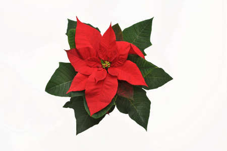 Poinsettias- The Star of Bethlehem, symbol of Christmas on white background Stock Photo - 13409949