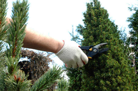 hedge clippers: Cutting and forming the ornamental tree