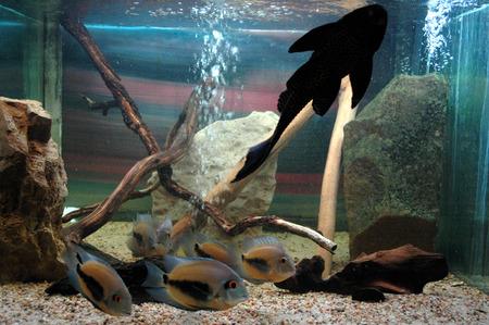 cichlid: Fish in aquarium- sea life