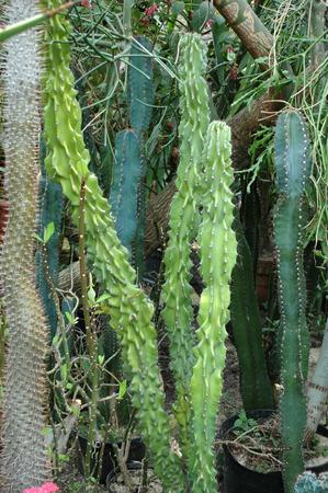 botanic: cactus in the botanic garden