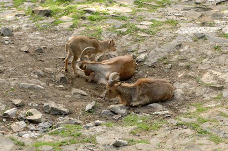 steep: chamois are resting on the earth