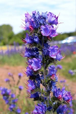 Close up on Vipers bugloss Stock Photo