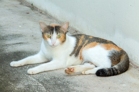 lays down: Tricolor (three colors White, Black, Orange) cat lays down on the cement floor Stock Photo