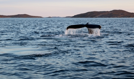 Tail of diving whale