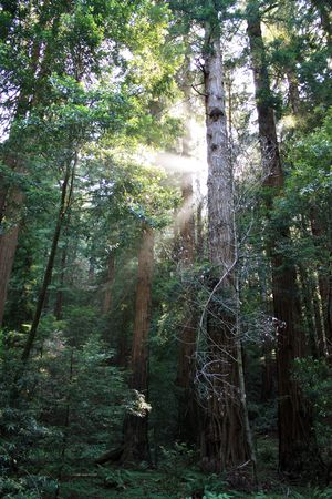 Muir Woods Redwoods with Sunburst photo