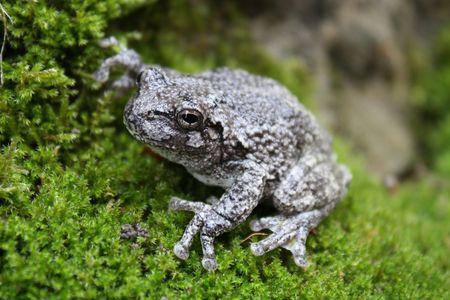 Frog on Moss photo