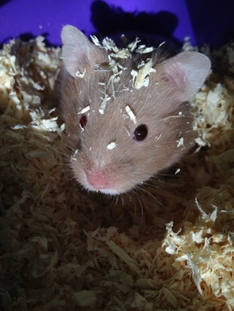 otganimalpets01: Hamster after dunking head in sawdust