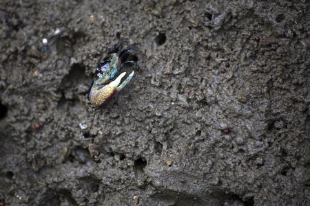 fiddler: Fiddler crab on The Mud