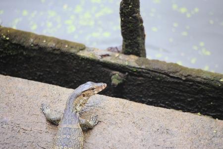semi aquatic: Monitor Lizard on The Land