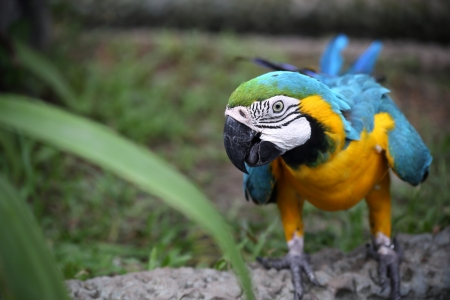 Blue and Gold Macaw Perch on the Branch photo